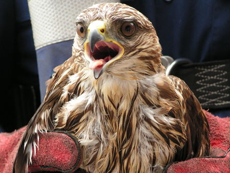 Police rescue injured bird of prey from River Thames